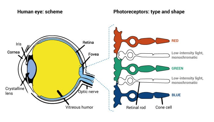 human-eye-scheme-retinal-rod-and-cones