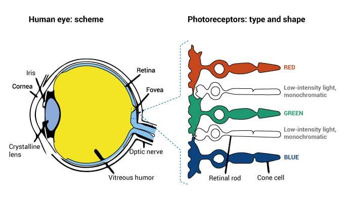 human-eye-scheme-retinal-rod-and-cones